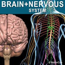 3d Human Anatomy Human Nervous Systems Brain
