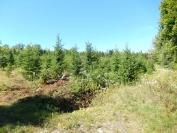scouting u cut christmas tree farm the chronicle herald