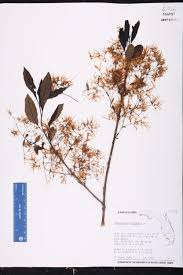 218 best native plants images chionanthus virginicus species page isb atlas of florida plants