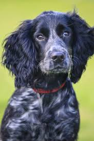 Do Brittany Spaniels Shed by Top 25 Smartest Dog Breeds Most Intelligent Dog Rankings