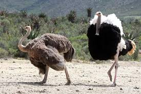 animal how ostriches do it