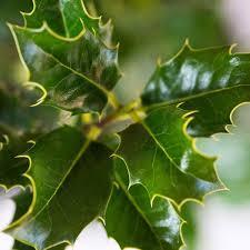 native hedging plants uk instant holly hedges ready grown ilex aquifolium hedge trough