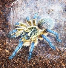avicularia metallica pinktoe a relatively docile species of
