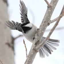 Ontario Backyard Birds The Whisky Jack May Soon Become Canada U0027s National Bird Canada