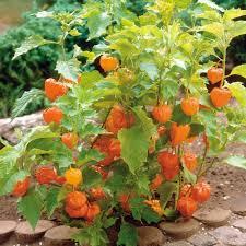 japanese lantern plant lantern physalis alkekengi ground cherry japanese