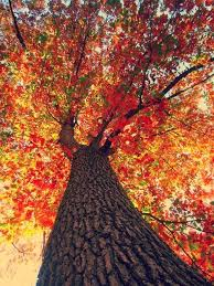 looking up at fall tree pictures photos and images for