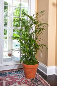 indoor palm bamboo palm large plant shipped to your door tropical plant