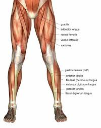 The Human Anatomy Muscles 18 Best Muscles In The Body Images On Pinterest Muscles Human