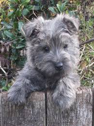 brindle cairn haircut cairn terriër dee not a sweeter dog in the world i had one for