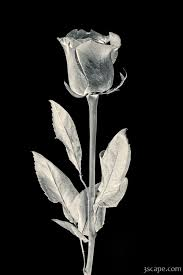 silver roses silver photograph prints by adam romanowicz 9425