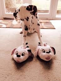 Cute Christmas Meme - shy dalmation gal gets some cute puppy slippers for christmas