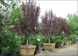 best 25 plum trees for sale ideas on fruit trees for
