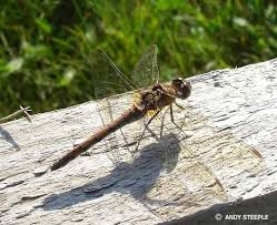 dragonfly symbolism dragonfly meaning