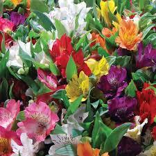 alstroemeria flower alstroemeria planting guide easy to grow bulbs