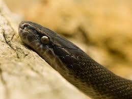 Blind Snake For Sale Snake Sale Image Mag