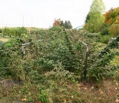 upland pruning my raspberries