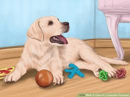 how to care for a labrador retriever 14 steps with pictures
