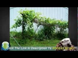 Grape Trellis For Sale Grape Vines Growing On A Trellis Youtube