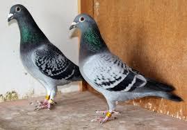 cuisine des pigeons voyageurs la construction de la race de breemen pigeon voyageur