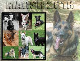 belgian shepherd rescue facebook magsr org providing rescue and adoption services in md dc va