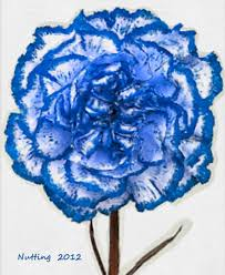 blue carnations blue carnation flowers by bruce nutting blue