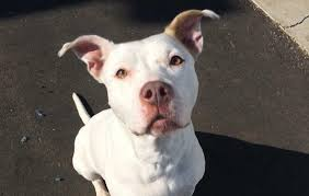 american pitbull terrier illegal someone called the cops after he posted a picture with his u0027pit bull u0027