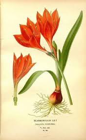 botanical sts clivia vintage fiore arte sta antico muro decoro fiore
