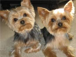 teacup yorkie haircuts pictures 11 best yorkie images on pinterest doggies yorkshire terriers