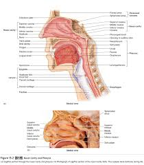 trachea anatomy of the respiratory system study material