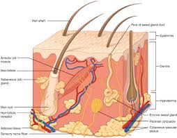 Structure Of Human Anatomy Layers Of The Skin Anatomy And Physiology