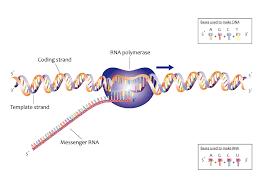 bacterial transcription wikipedia