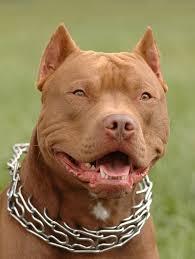 american pitbull terrier gator best 25 red pitbull ideas on pinterest pitbull red nose