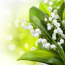 Lily Of The Valley Flower Lily Of The Valley Fragrance Oil Natures Garden Scents