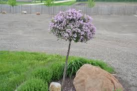 korean lilac trees are a great ornamental choice for landscapes