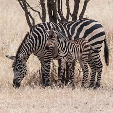 in photos why zebras have black and white stripes