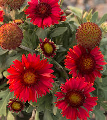 native plants of arizona arizona red shades blanket flower monrovia arizona red shades