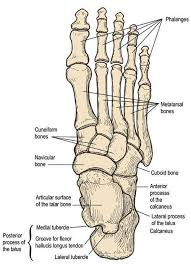 Top Foot Anatomy Human Anatomy Foot Bone Anatomy Human Anatomy Bones Foot