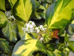 19 holly tree flowers oakland holly ilex magland