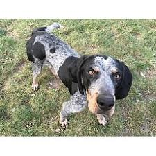bluetick coonhound owners owner experience bluetick coonhound for adoption
