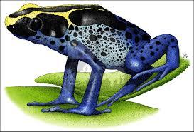 dyeing poison dart frog dendrobates tinctorius line art illustration