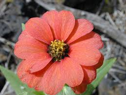 Zinnia Flowers To Care For Zinnia Flowers