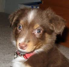 australian shepherd dog puppies 23 best miniature australian shepherd dogs images on