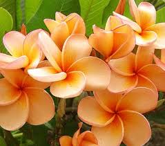 plumeria flower 106 best plumeria the most beautiful flower in the world images