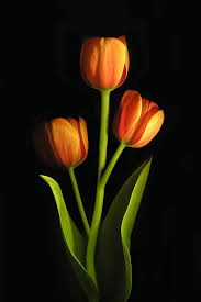 Pretty Orange Orange Tulips Flowers U0026 Plants 1 Pinterest Flowers