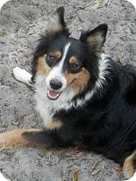owning a australian shepherd sara adopted dog nokomis fl australian shepherd sheltie