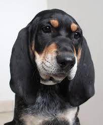 bluetick coonhound rescue california bluetick coonhound dog for adoption in aurora co adn 500031 on