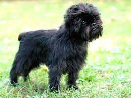 affenpinscher good bad get yourself a new dog and go for any of the top 10 smallest dog