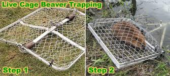 How To Get Rid Of A Skunk In Your Backyard How To Get Rid Of Beavers In A Pond Creek Or Yard