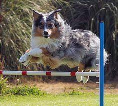 australian shepherd lovers australian shepherd australian shepherds pinterest