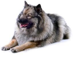 american eskimo dog vs keeshond 40 best dog breeds for women u2013 top dog tips